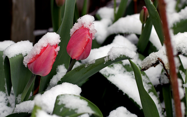 Tulips blooming through snow